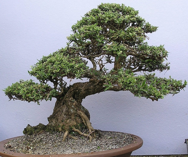Bbs gallery for Famous bonsai trees